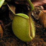 Žalias Nepenthes ampullaria varietetas