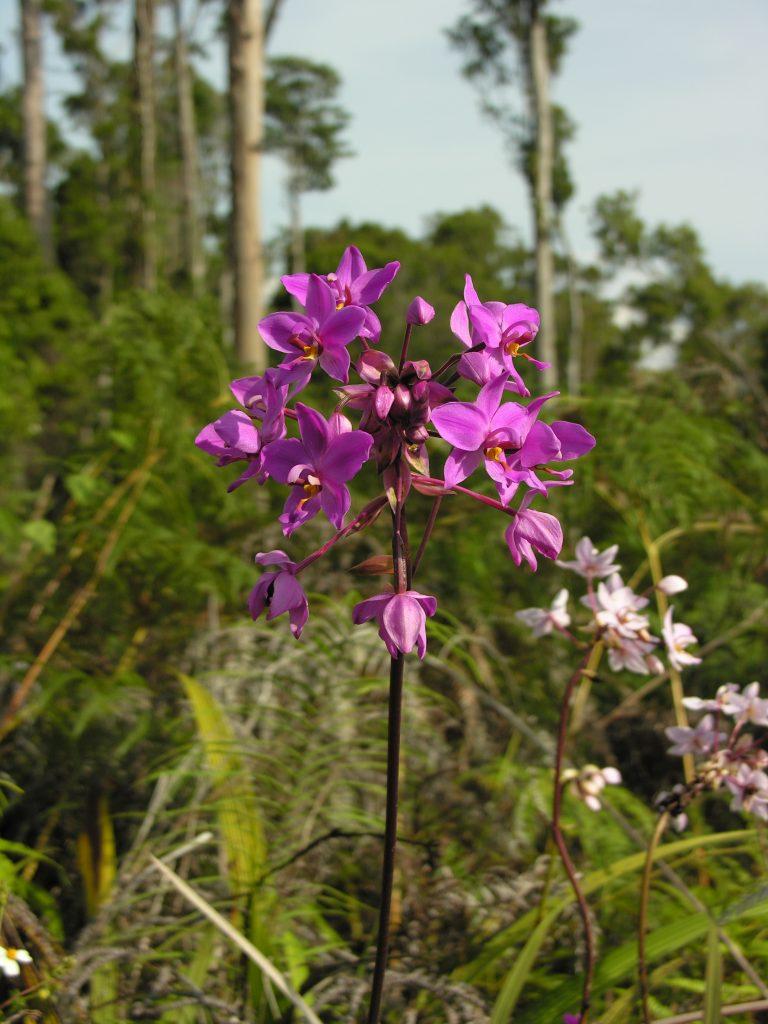 Orchidėjos, augančios Jayapura pietuose, Papua