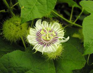 Passiflora foetida žiedas
