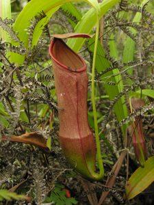 Nuostabūs raudoni Nepenthes mirabilis ąsočiai