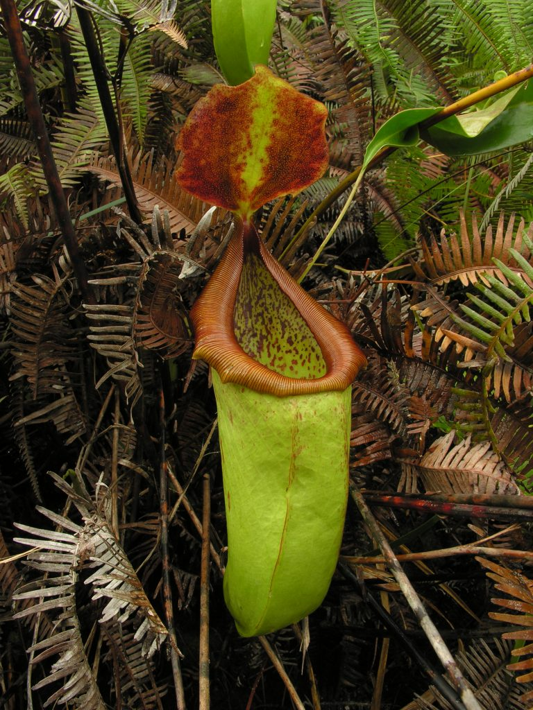 Nepenthes insignis forma didžiojoje saloje