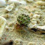 Krabas atsiskyrėlis