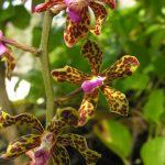 Vanda orchidėjos Misool saloje