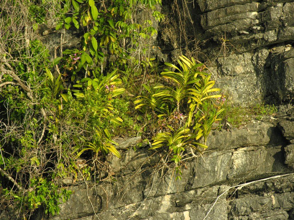 Vanda orchidėjos, augančios Misool tiesiai ant skardžio šono