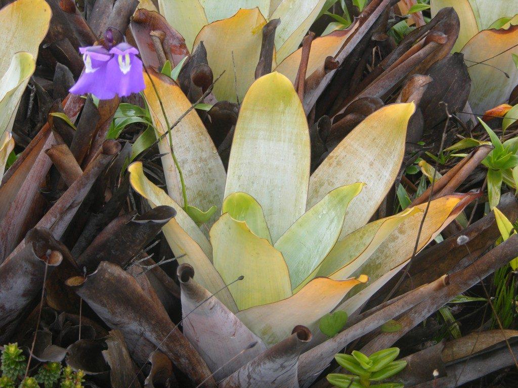 Utricularia humboldtii (su dideliu violetiniu žiedu) augantis ir medžiojantis Brocchinia tatei lapuose