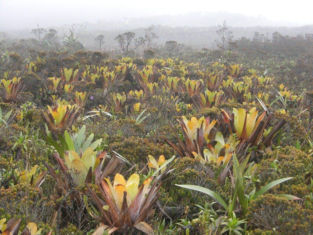 Rūko miškas ir Brocchinia tatei augalų
