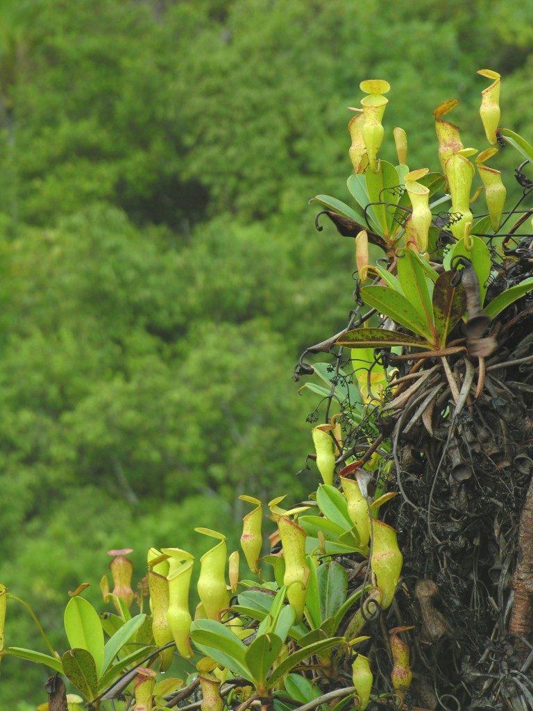 N. pervillei, augantis Mahé Saloje Seišeliuose