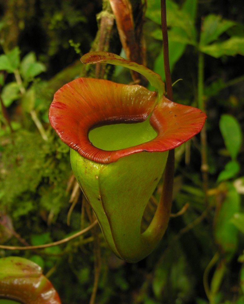Nuostabūs Nepenthes jacquilineae ąsočiai