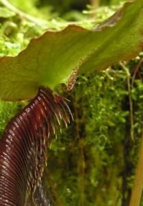 Savotiškas Nepenthes izumieae peristomas