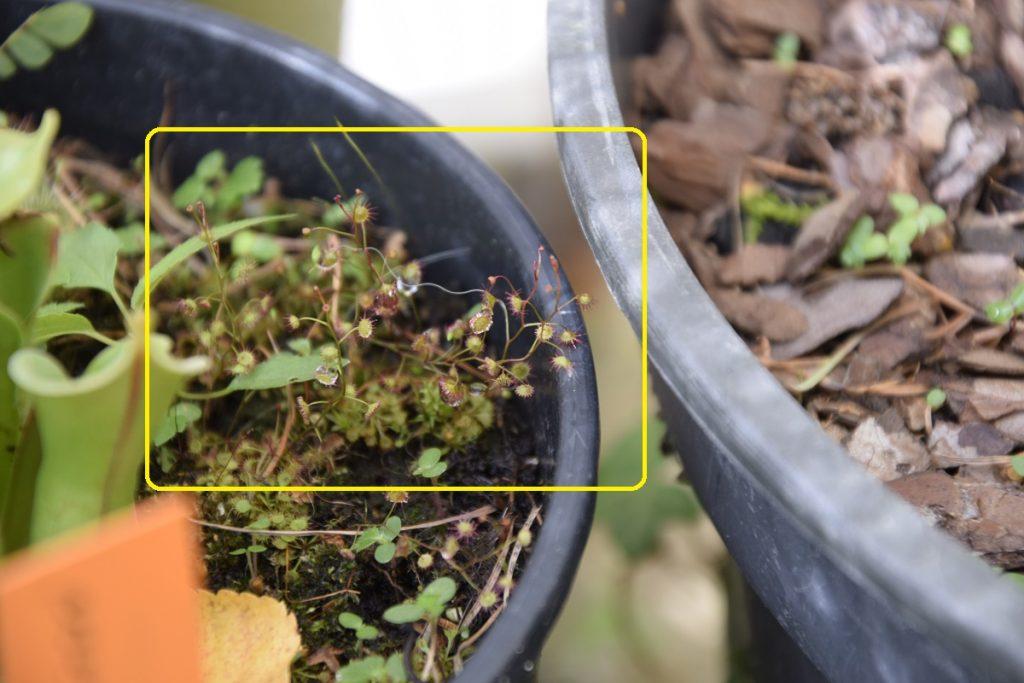 Drosera menziesii stiebeliai augo sparčiau