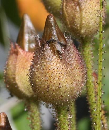 Drosophyllum lusitanicum seed pod