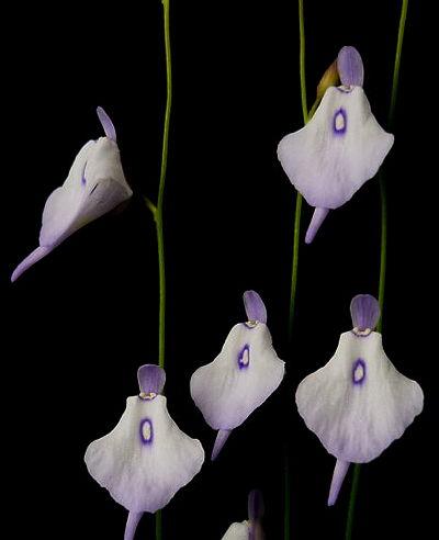 Utricularia pubescens