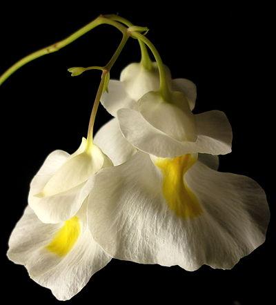 Auginamas epifitinis Utricularia alpina skendenis su nuostabiais žiedais