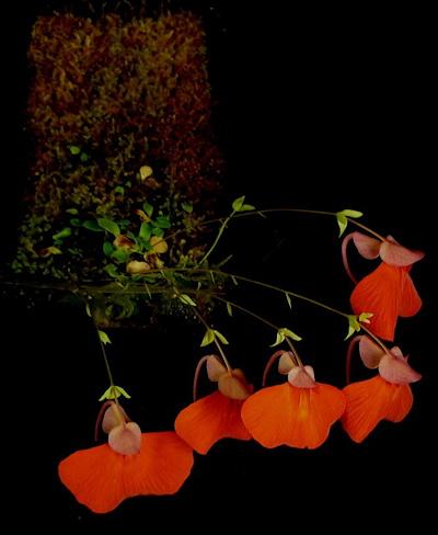 Auginamas epifitinis skendenis - Utricularia campbelliana