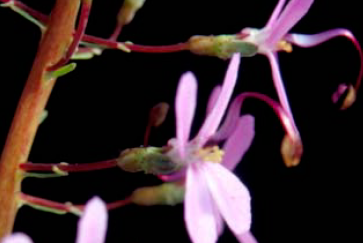 Side view of a blossom of the Pink Fountain Triggerplant, S. brunonianum, which has fired its column, seen as a red and pink ribbon-like structure. The flowers are each 5 mm wide