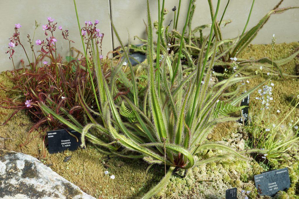 Drosera trinervia Kew botanikos sode apsupta kapo saulašarių(c) Aurimas Baranauskas