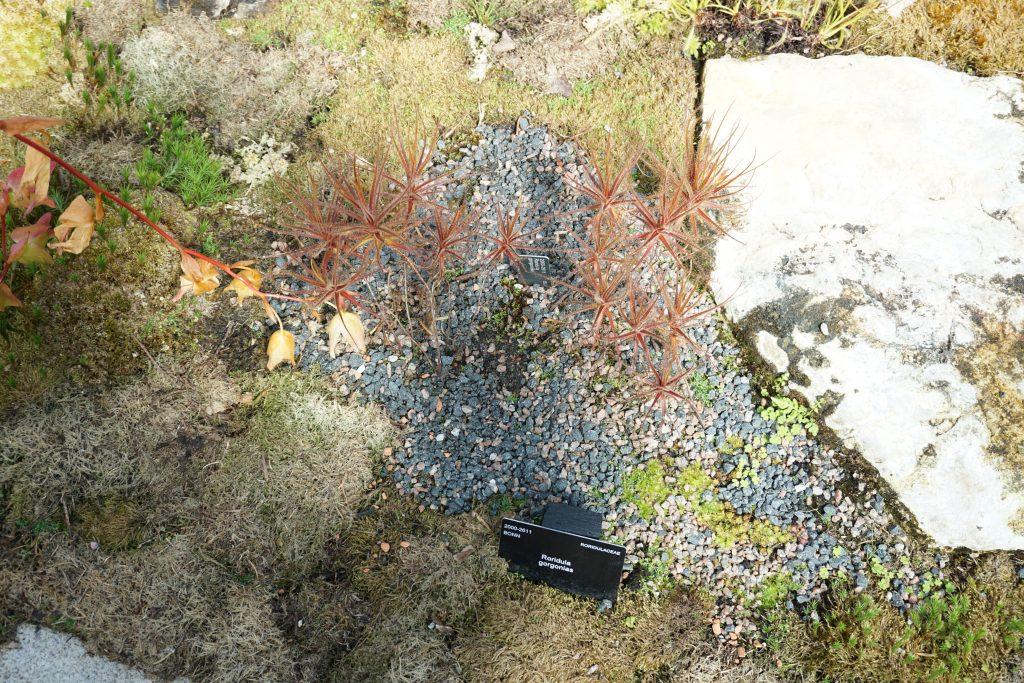Roridula gorgonias Kew botanikos sode (c) Aurimas Baranauskas