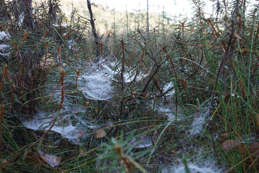 Varnikų voratinkliai (c) Aurimas Baranauskas
