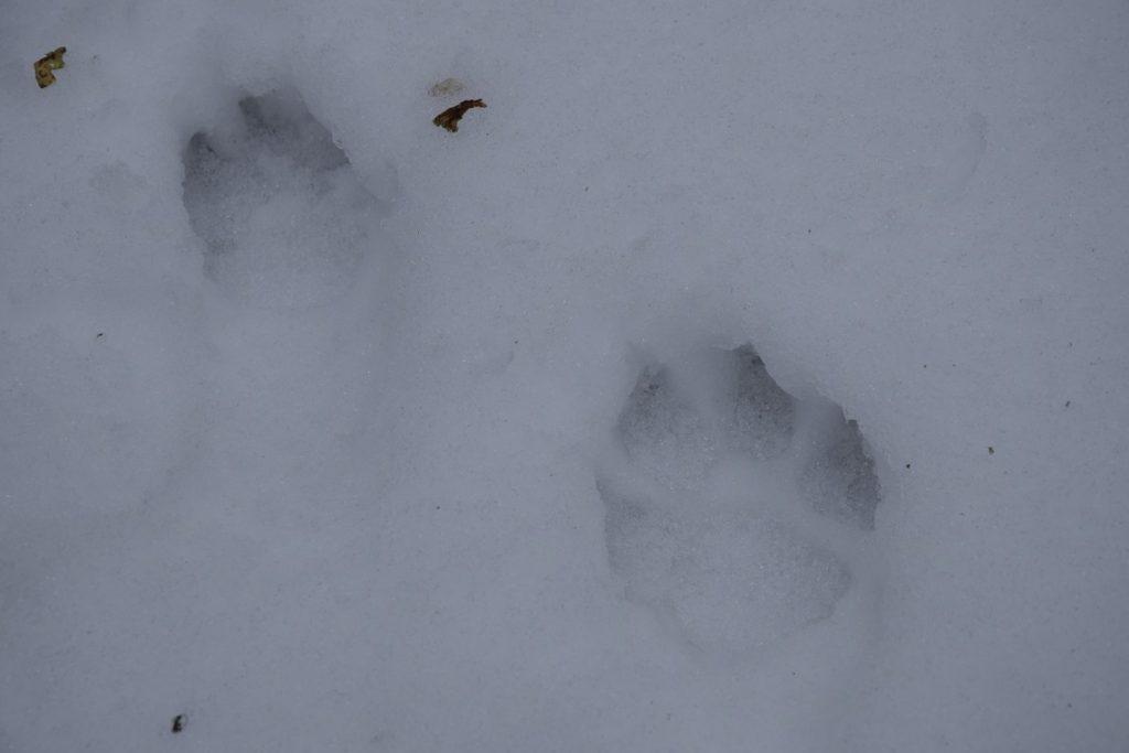 Vilko pėdos